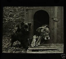 Glass Magic Lantern Slide DOG IN KENNEL WITH POMERANIAN PUP C1910 PHOTO