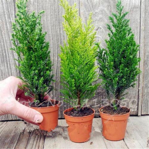 50 PCS ITALIAN CYPRESS Tree Bonsai Seeds Cupressus Sempervirens