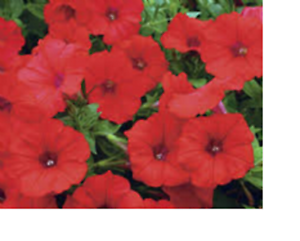 8 x TRAILING PETUNIA SCARLET RED  PLUG PLANTS FREE POSTAGE READY MID FEB