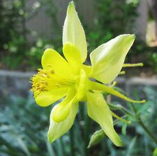 50 Yellow Columbine Seeds Aquilegia Vulgaris Garden Flowers