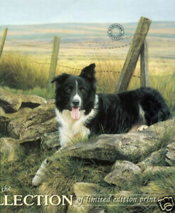 Steven-Townsend-PIP-Border-Collie-Collies-Sheep-Dogs