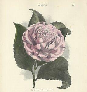 Fiori In Inglese.Camelia Camellia Stampa Antica Del 1896 Con Fiori Incisione