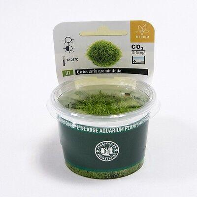 Utricularia graminifolia Carpet Dennerle Aquarium Plant It InVitro Shrimp  Safe | eBay