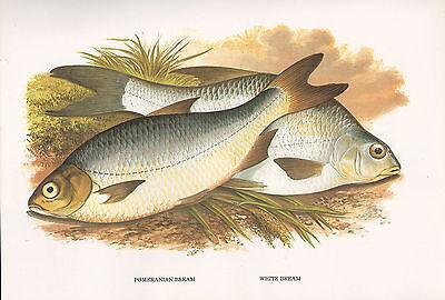 Animals & Dinosaurs Vintage Faksimile Fisch Aufdruck ~ Pomeranian & Weiß Bream ~ A F Lydon