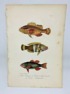 Fish-Plate-79-Lacepede-1832-Hand-Colored-Natural-History