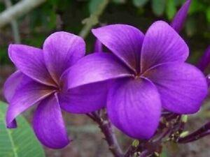 5 Purple Plumeria Seeds Plants Flower Perennial Flowers Bloom Seed
