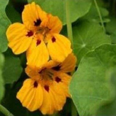 Suffolk Herbs Weld Dyers Rocket 150 Seeds