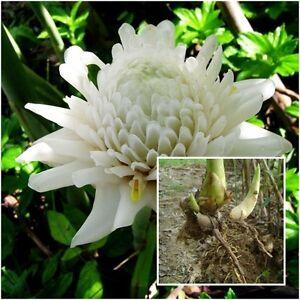 Etlingera elatior 1 rhizome white torch ginger flower khao plant image is loading etlingera elatior 1 rhizome white torch ginger flower mightylinksfo