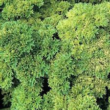 1000 MOSS CURLED PARSLEY Petroselinum Crispym Seeds