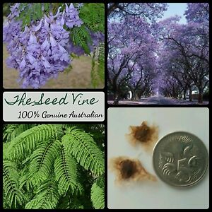 Blue Jacaranda Tree Seeds Jacaranda Mimosifolia Bonsai Purple Flower Ebay