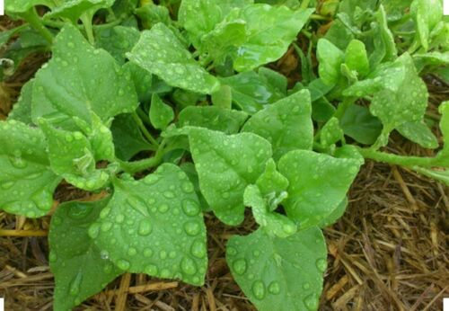 70 New Zealand Spinach Seeds Open Pollinated-Non GMO-Organic-Drought Tolerant