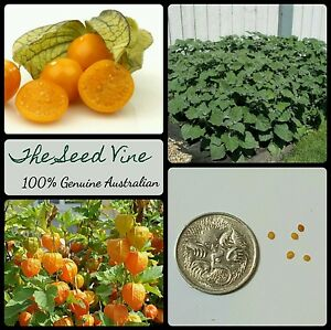 30-ORGANIC-CAPE-GOOSEBERRY-SEEDS-Physalis-peruviana-Golden-Nugget-Berry