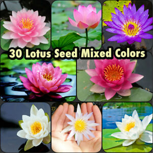 Details About 30 Lotus Seed Usa Er Grower Mix Color Live Aquatic Plant Water Lily Koi Pond