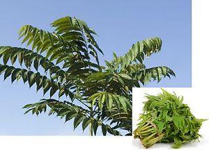 20-Samen-Chinesischer-Gemuesebaum-Toona-sinensis-essbare-Blaetter-winterhart
