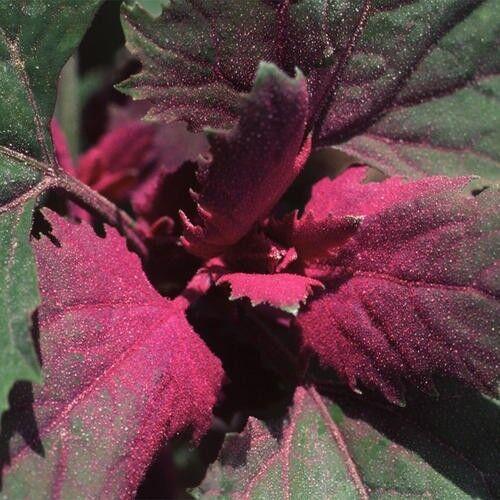 450 graines Fines herbes-Chaya