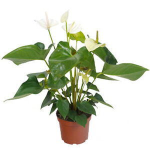 anthurium blanc en pot 17cm hauteur 65cm plante fleur d 39 int rieur d polluante ebay. Black Bedroom Furniture Sets. Home Design Ideas