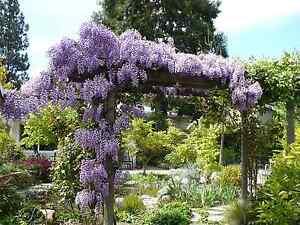 Wisteria Vine Wisteria Synesis 6 12 Plant Ebay