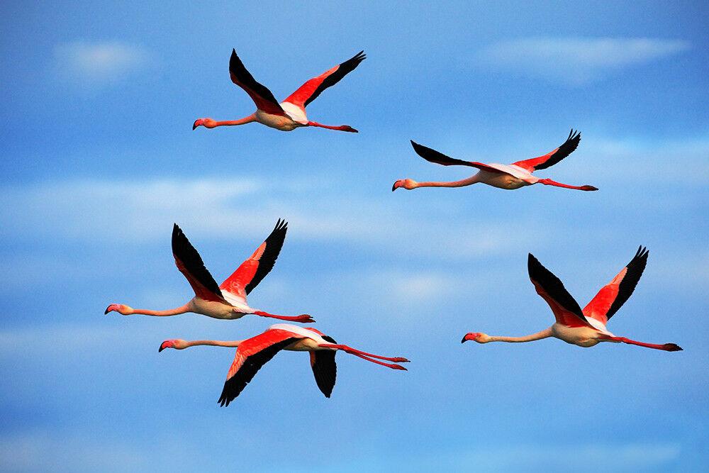 Fototapete Flamingos Flug Vögel - Kleistertapete oder Selbstklebende Tapete