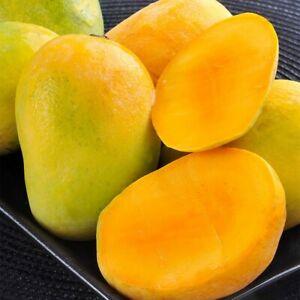 Southern-MANGO-Live-Tropical-Fruit-tree