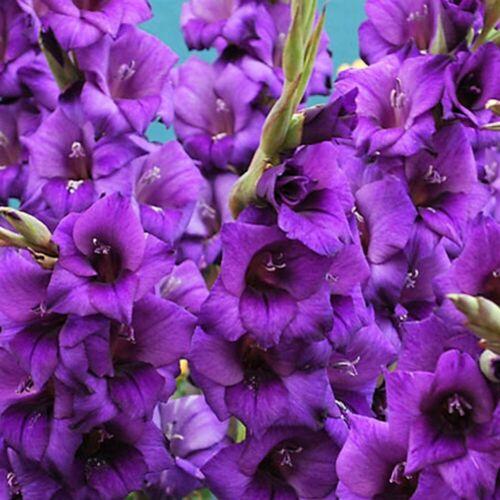 """Humphreys Jardin ® glaïeuls /""""Violet Flora/"""" Ampoules//griffes X 30 TAILLE 8//10 PRETTY"""