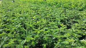 Abies-nordmanniana-4-L-Topf-Nordmanntanne-Weihnachtsbaum-Tanne-Fichte-Top