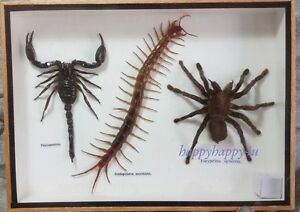 Details about GIANT CENTIPEDE SCORPION SPIDER FRAMED TAXIDERMY INSECT BUG  REAL RARE COLLECTION