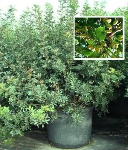 Robuste Kübelpflanze mit mediterranem Flair Atlantischer Pistazienbaum