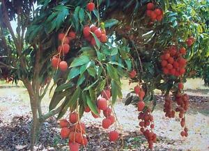 Lychee Fruit Tree Pictures