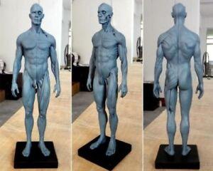 30cm Height Human Anatomical Anatomy Skull Head Body Model Muscle Bone UK Stock