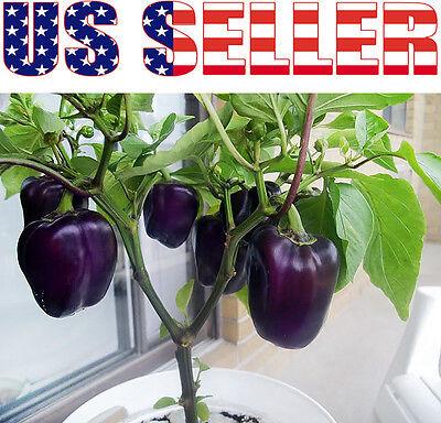 30+ ORGANIC Purple Beauty Pepper Seeds Sweet RARE Heirloom Crisp