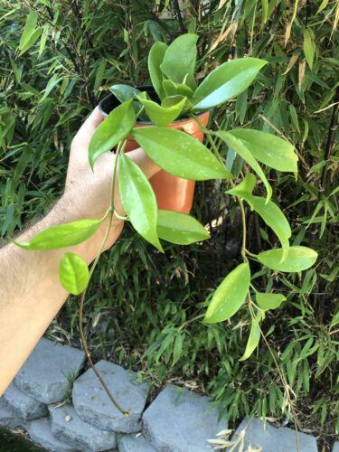 "Hoya Pubicalyx Rare Splash Speckled Wax Plant 12+"" Strands Healthy 4x6 In Pots"