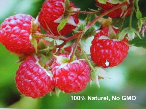 Wild Red Raspberry framboise sauvage 50 Fresh seeds Rubus idaeus