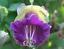 Cobaea scandens Tasse soucoupe seeds Vine Purple graines Cobée grimpante vigne