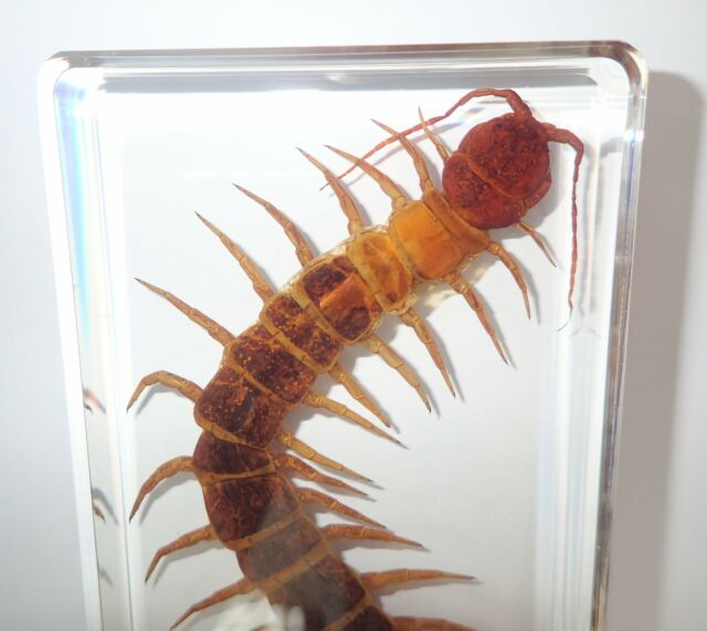 Giant Red Headed Centipede Scolopendra Subspinipes Education Insect Specimen