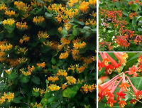 Geißblatt rot gelb Stecklinge blühend winterhart schnellwüchsig Hecken Sträucher