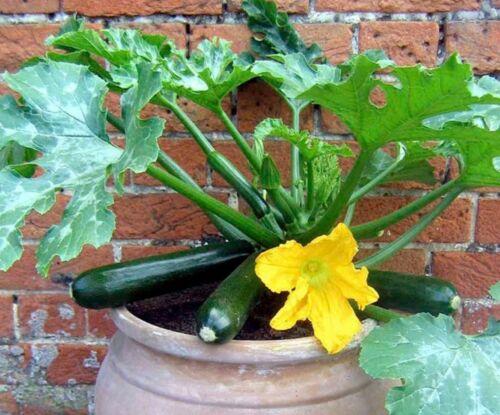 15 Graines de Courgette Black Beauty légumes jardin potager méthode BIO