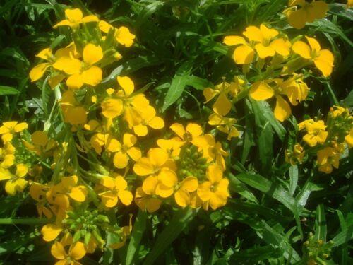 wall flower 250 seeds PERENNIAL Erysimum Seeds Gold Shot Flower Seeds