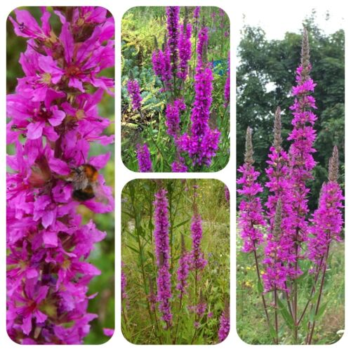 Teichrandpflanzen für naturnahe Gärten Samen zum Aussuchen