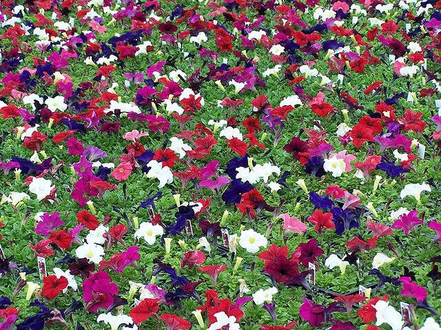 Petunia 'Budget Mix' 200 seeds Flower garden