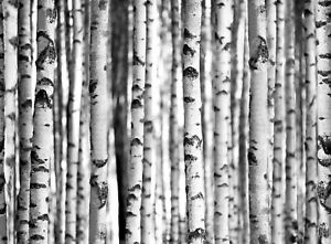 Details about 315x232cm wallpaper mural Forest black & white photo  wallpaper bedroom wall art