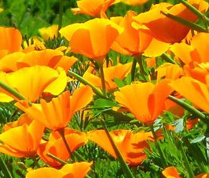 CALIFORNIA-POPPY-ORANGE-Eschscholzia-Californica-5-000-Bulk-Seeds