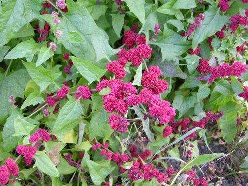 200 graines ähriger erdbeerspinat-BLITUM capitatum Chenopodium épinards