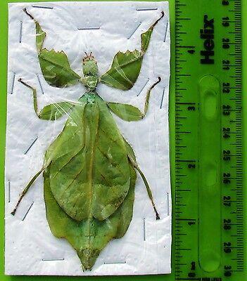 "Lot of 5 Amazing Walking Leaf Mimic Phyllium celebicum Female 3 +"" FAST FROM USA"