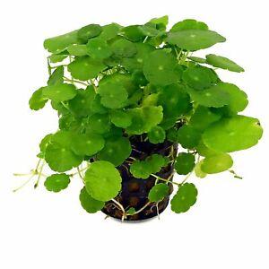 Hydrocotyle-verticillata-Piante-per-Acquario-a-Crescita-Veloce-Gestione-Facile