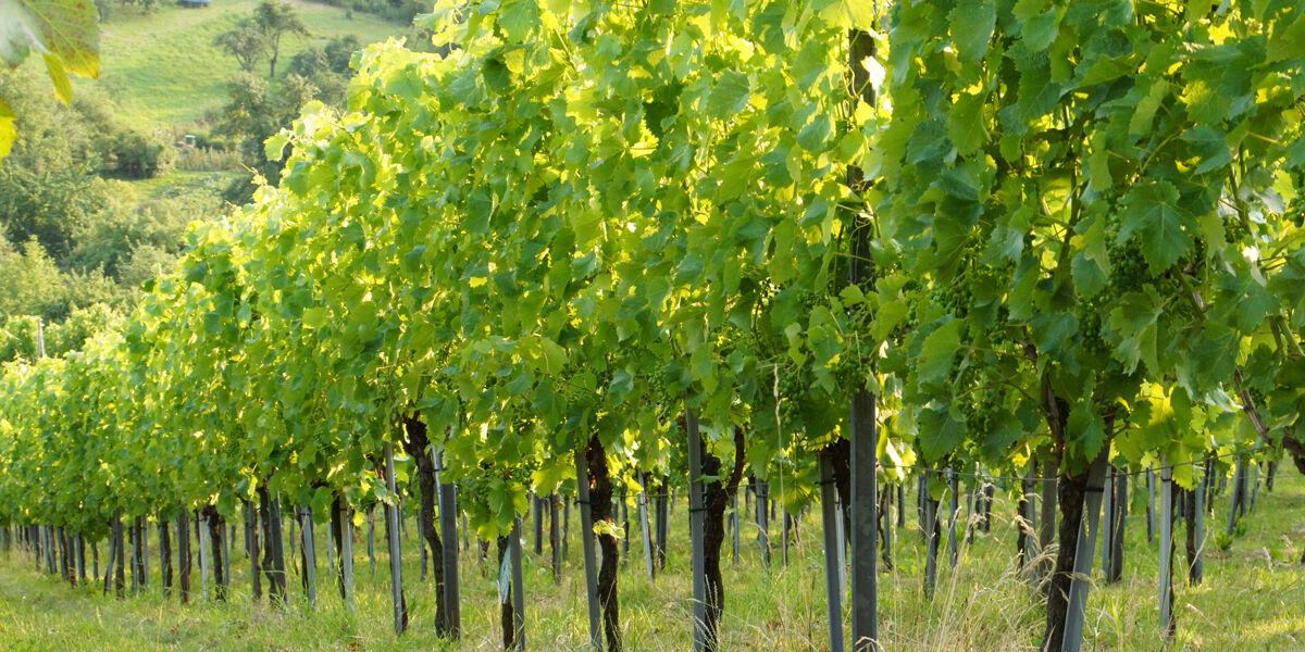Infrarotheizung Premium rahmenlos mit Bild, 680 Watt, Motiv  Weingarten