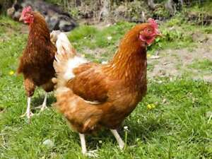 188-CHICKEN-KEEPING-BOOKS-ON-DVD-CHICKENS-HENS-POULTRY-DUCKS-COOP-EGGS-BREEDS
