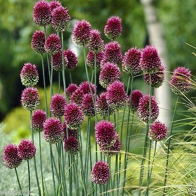 25 ALLIUM Bulbs~Purple Drumstick~ Ornamental Onion - FALL PLANTING, NOW SHIPPING