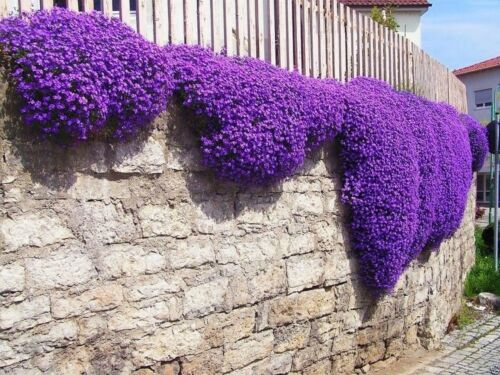 100 Seeds Purple Aubrieta Seeds Cascade Flower Garden Decor Plant Bonsai Seeds