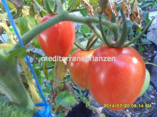 """samenfest von unserer Farm Ungarische Tomatensamen/""""Cherry Romantika/"""""""