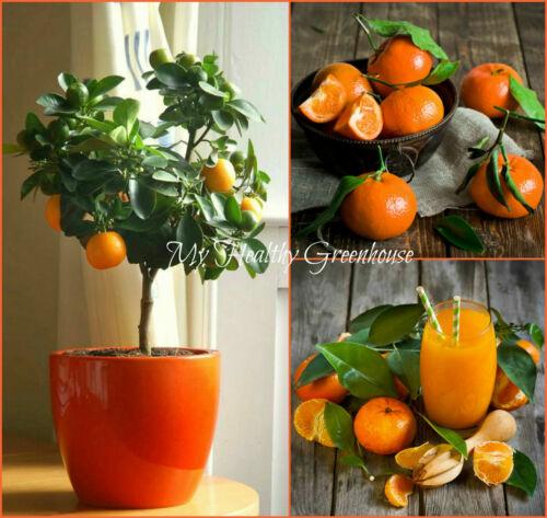6 SEEDS Dwarf Container TANGERINE Citrus Sweet Clementine Mandarin UK EU ORGANIC